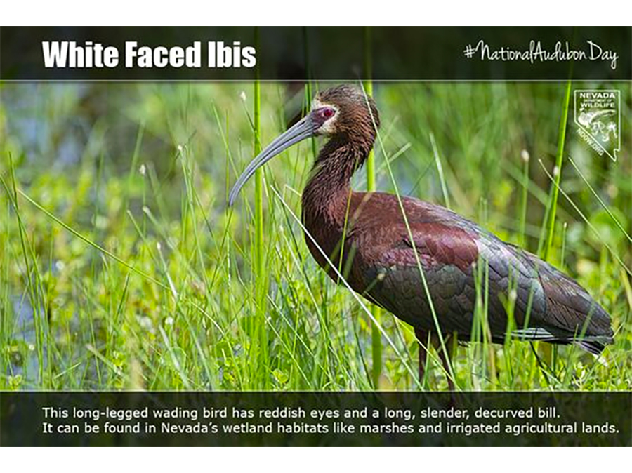 National Audubone Day - White Face Ibis  #NationalAudubonDay