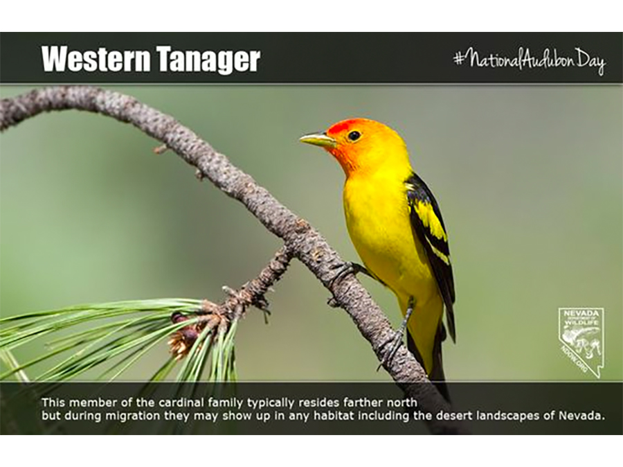 National Audubone Day - Western Tanager #NationalAudubonDay